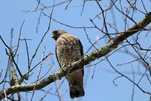 A broad-winged hawk in Bolton, photographed by Jon Turner.