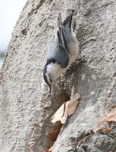 A white-breasted nuthatch nesting at Breakneck Hill Conservation Land in Southborough, photographed by Steve Forman.