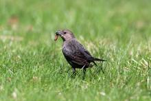 A brown-headed cowbird in Bolton, photographed by Jon Turner.