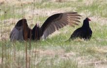 Turkey vultures at Breakneck Hill Conservation Land in Southborough, photographed by Steve Forman.