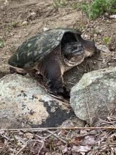 A snapping turtle in Acton, photographed by Kate Tyrrell.