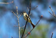 An eastern phoebe in Bolton, photographed by Jon Turner.