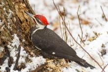 A pileated woodpecker at Mill Pond in Maynard, photographed by Dany Pelletier.