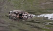A beaver at SVT's Memorial Forest in Sudbury, photographed by Dan Trippe.