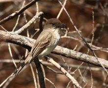 An eastern phoebe at Assabet River National Wildlife Refuge, photographed by Dan Trippe.