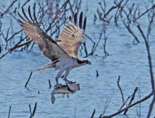 An osprey catching a fish in Wayland, photographed by Joan Chasan.