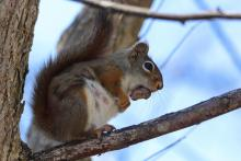 A red squirrel in Bolton, photographed by Jon Turner.