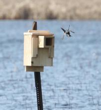 A pair of tree swallows in Concord, photographed by Steve Forman.
