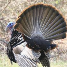 A turkey in Concord, photographed by Steve Forman.