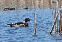 A wood duck in Wayland, photographed by Joan Chasan.