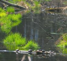 Painted turtles in Northborough, photographed by Allan Bezanson.