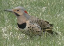 A northern flicker in Sudbury, photographed by Sharon Tentarelli.