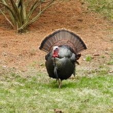 A turkey in Natick, photographed by Chuck Hill.