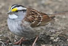 A white-throated sparrow in Framingham, photographed by Steve Forman.