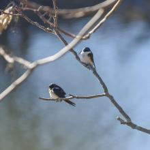A barn swallow (bottom left) and a tree swallow at Mill Pond in Maynard, photographed by Dany Pelletier.