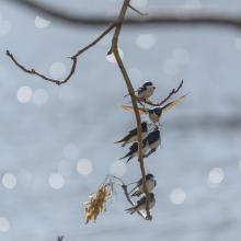 Tree swallows at Mill Pond in Maynard, photographed by Dany Pelletier.
