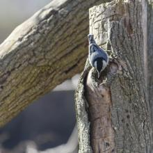 A white-breasted nuthatch at Mill Pond in Maynard, photographed by Dany Pelletier.