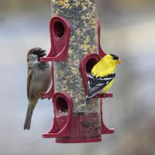 A house sparrow (left) and an American goldfinch in Maynard, photographed by Dany Pelletier.