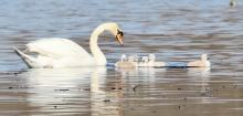 A family of mute swans in Northborough, photographed by Steve Forman.