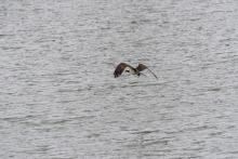 An osprey at Mill Pond in Maynard, photographed by Dany Pelletier.
