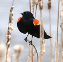A red-winged blackbird at Farm Pond in Framingham, photographed by Steve Forman.