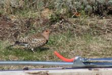 A northern flicker in Berlin.
