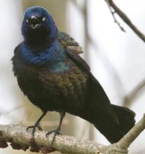A common grackle in Framingham, photographed by Steve Forman.