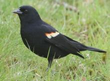 A red-winged blackbird in Framingham, photographed by Steve Forman.