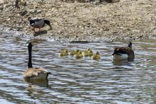 Canada geese at Mill Pond in Maynard, photographed by Dany Pelletier.