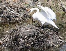 A mute swan nest in Natick, photographed by Steve Forman.