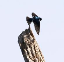 A tree swallow at Little Chauncy Pond in Westborough, photographed by Steve Forman.