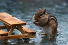 An eastern chipmunk in Bolton, photographed by Jon Turner.