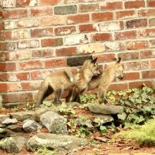 Red fox kits in Sudbury, photographed by Russ Place.