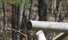An eastern bluebird in Sudbury, photographed by Peg Espinola.