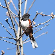 An eastern towhee at Assabet River National Wildlife Refuge, photographed by Dan Trippe.