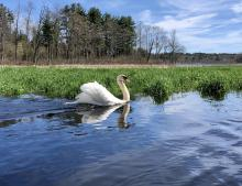 A mute swan on the Assabet River in Stow, photographed by Melissa Bergman.