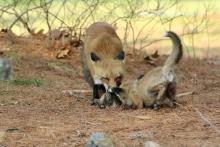 Red fox and kit with prey in Sudbury, photographed by Russ Place.