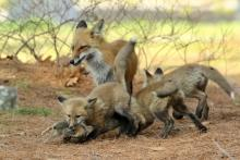Red fox and kits with prey in Sudbury, photographed by Russ Place.