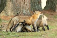 A red fox and nursing kits in Sudbury, photographed by Russ Place.
