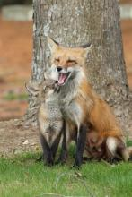 A red fox and kit in Sudbury, photographed by Russ Place.