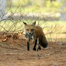 A red fox with prey in Sudbury, photographed by Steve Forman.