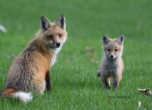 Red foxes in Northborough, photographed by Glenn Ellsworth.