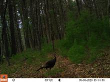 A turkey at SVT's Memorial Forest in Sudbury, photographed with an automatically triggered wildlife camera by Craig Smith.