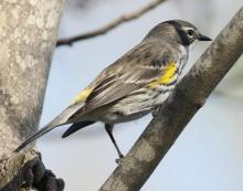 A yellow-rumped warbler at Hager Pond in Marlborough, photographed by Steve Forman.