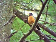 An American robin in Harvard, photographed by Robin Right.