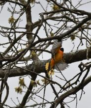 A Baltimore oriole in Sudbury, photographed by Gail Sartori.