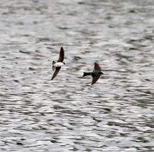 Tree swallows at Hager Pond in Marlborough, photographed by Steve Forman.