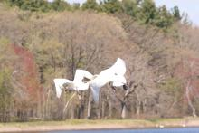 Mute swans at Farm Pond in Framingham, photographed by Steve Forman.