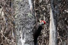 A pileated woodpecker in Stow, photographed by Jon Turner.