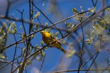 A yellow warbler in Stow, photographed by Jon Turner.